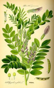 liquirizia Glycyrrhiza_glabra0